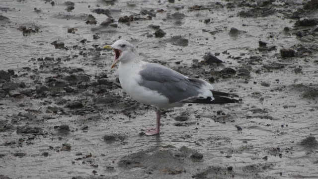 Shot of a herring gull standing at the mud flat in the western sea