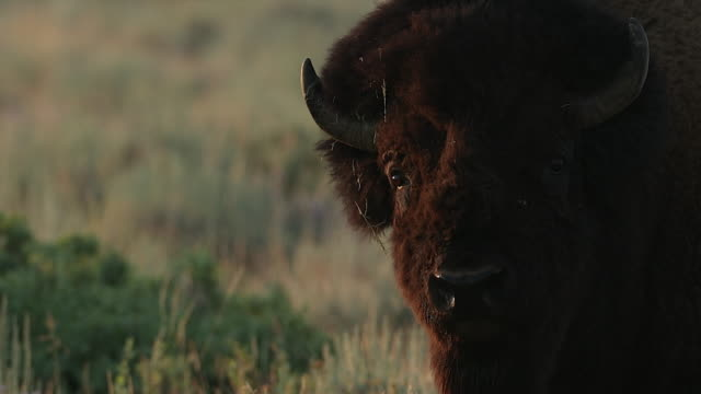 vídeos de stock e filmes b-roll de sts 4k shot of a huge american bison (bison bison) bull at sunrise - bisonte americano