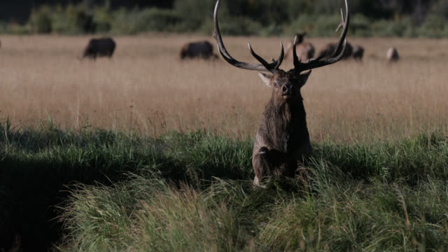 ms 4k shot of a huge bull elk or wapiti (cervus canadensis) jumping through a stream - bull animal stock videos & royalty-free footage