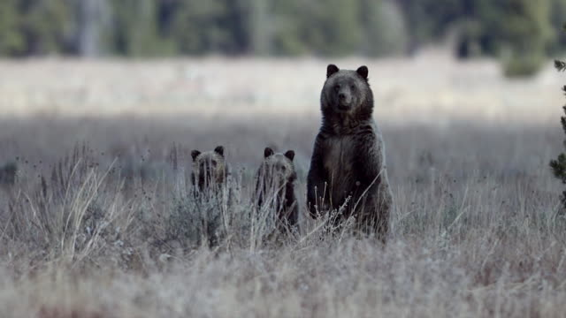 WS  4K shot of a huge grizzly bear (Ursus arctos) with 2 small cubs standing up and looking in a sagebrush meadow