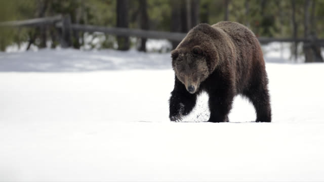 ms/ts shot of a huge male grizzly bear (ursus arctos) walking through the fresh snow - grand teton national park stock videos & royalty-free footage