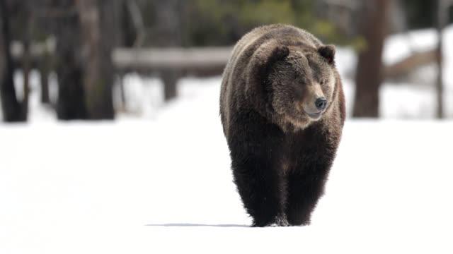 ms/ts shot of a huge male grizzly bear (ursus arctos) walking through the fresh snow - グランドティトン国立公園点の映像素材/bロール