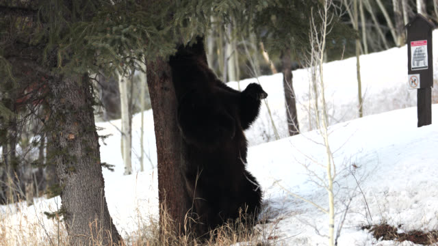 ms/ts shot of a huge male grizzly bear (ursus arctos) walking through the fresh snow - wyoming stock videos & royalty-free footage