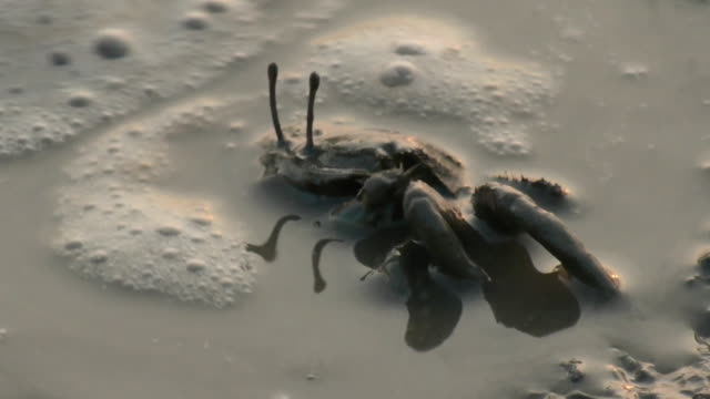 shot of a japanese ghost crab on the mud flat - mud flat stock videos and b-roll footage