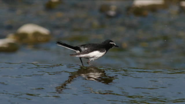 shot of a japanese wagtail searching prey on river - songbird stock videos & royalty-free footage
