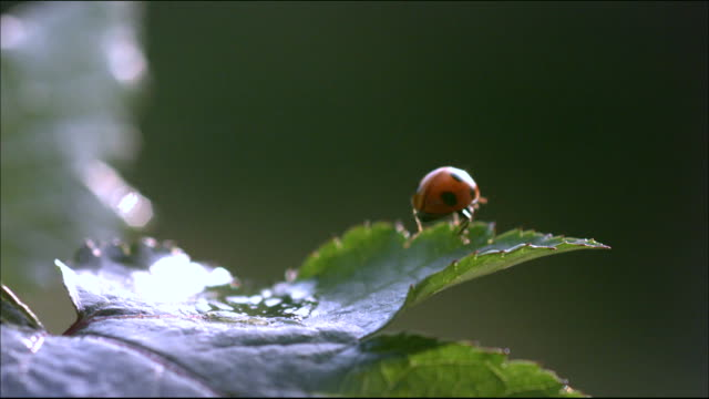 Shot of A ladybug rolling down leaf by falling waterdrop