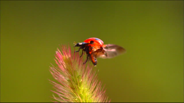 vídeos de stock e filmes b-roll de shot of a ladybug spread wings and flying on flower - inseto