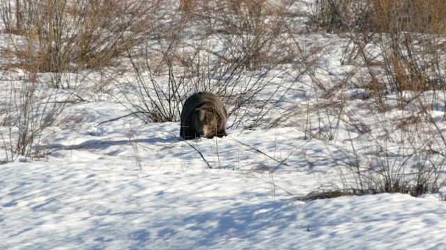 ws shot of a large 600lb male grizzly (ursus arctos) having trouble walking through the deep , soft spring snow - struggle stock videos & royalty-free footage