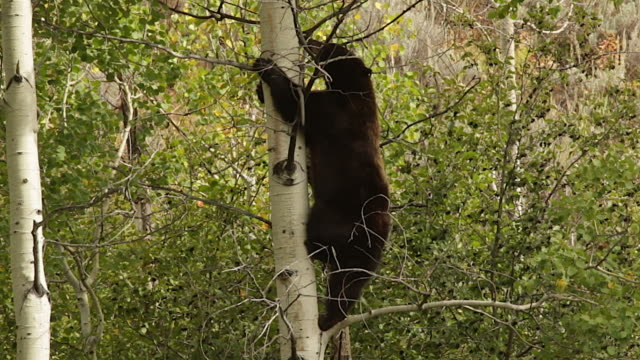 ms  shot of a large black bear  (ursus americanus) climbing up an aspen tree - bear stock videos and b-roll footage