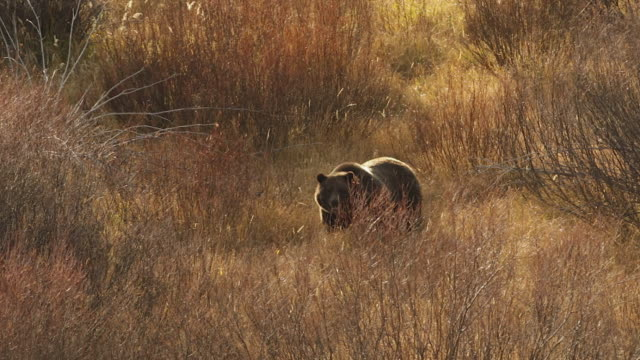 ms shot of a large boar grizzly (ursus arctos) walking through the fall willows at sunset - mt moran stock videos & royalty-free footage