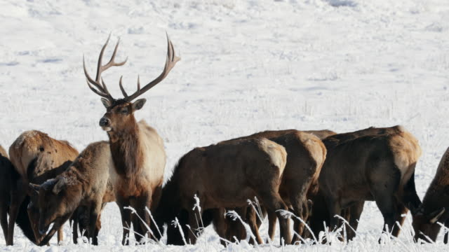 ms 4k shot of a large bull elk and cows (cervus canadensis) interacting in the fresh snow - jackson hole stock-videos und b-roll-filmmaterial