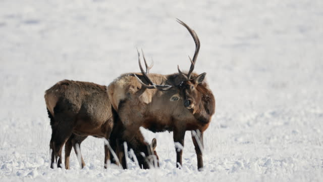 MS 4K shot of a large bull elk and cows (Cervus canadensis) interacting in the fresh snow