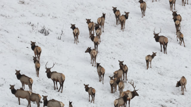ws 4k shot of a large bull elk and cows (cervus canadensis) walking up a hillside in the fresh snow - tiergruppe stock-videos und b-roll-filmmaterial