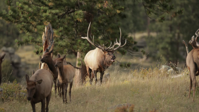 ms 4k shot of a large bull elk or wapiti (cervus canadensis) chasing his cows into the camera - deer stock videos & royalty-free footage