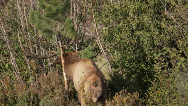 ms 4k shot of a large bull elk or wapiti (cervus canadensis) rubbing his antlers on a tree - deer stock videos & royalty-free footage