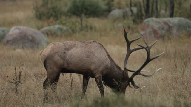ms 4k shot of a large bull elk or wapiti (cervus canadensis) spraying himself with urine during the fall rut - 枝角点の映像素材/bロール