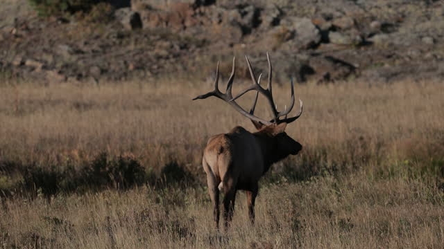 ms 4k shot of a large bull elk or wapiti (cervus canadensis) walking through the forest - horned stock videos & royalty-free footage