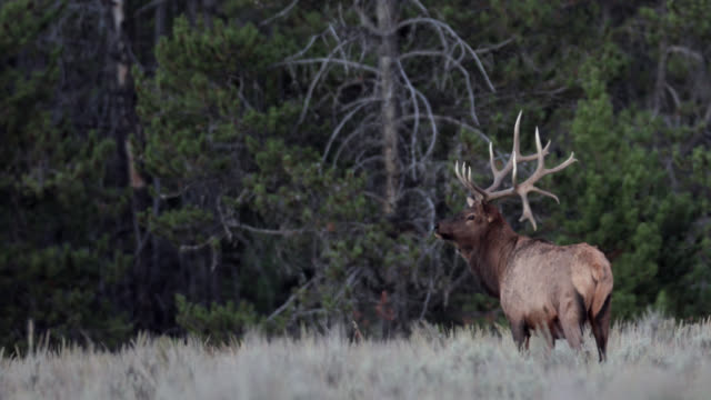 ms 4k shot of a large bull elk or wapiti (cervus canadensis) with non-typical antlers walking through the forest - rothirsch stock-videos und b-roll-filmmaterial