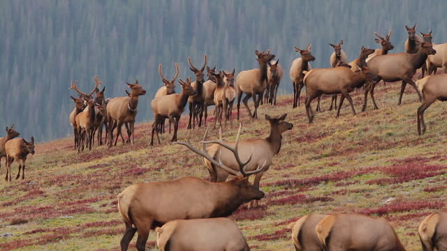 ws  shot of a large bull elk (cervus canadensis) with his herd of cows up on the fall alpine tundra - large group of animals stock videos and b-roll footage