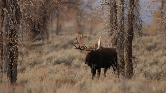 ms 4k shot of a large bull moose  (alces alces) in the forest - グランドティトン国立公園点の映像素材/bロール