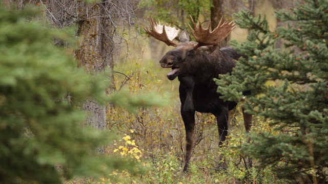 MS  shot of a large bull moose (Alces alces) in the rut, standing in the forest and yawning