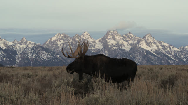 ws 4k shot of a large bull moose  (alces alces) standing in front of the tetons - jackson hole stock videos & royalty-free footage