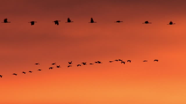vidéos et rushes de ws/audio  shot of a large flock of greater sandhill cranes ( grus canadensis) flying at sunrise - large group of animals