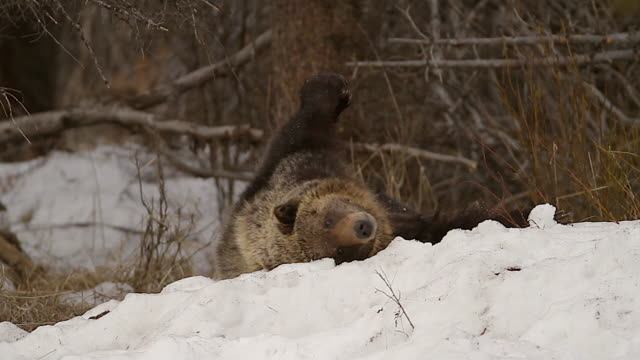 ms shot of a large grizzly (ursus arctos) playing in the fresh snow - mt moran stock videos & royalty-free footage