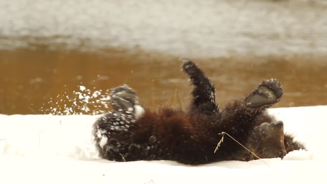 MS shot of a large grizzly (Ursus arctos) playing in the snow in early spring