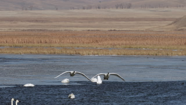 ws pan 4k shot of a large group of trumpeter swans  (cygnus buccinator) interacting on a winter creek - jackson hole stock-videos und b-roll-filmmaterial