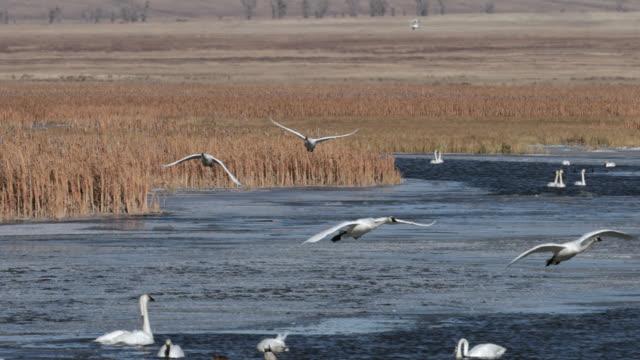 vídeos y material grabado en eventos de stock de ws pan 4k shot of a large group of trumpeter swans  (cygnus buccinator) interacting on a winter creek - pollo de cisne