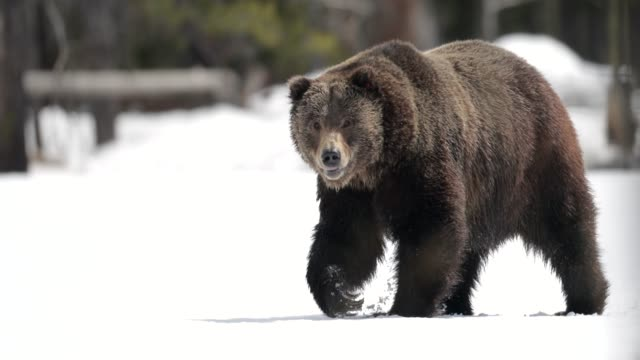 ts  4k  shot of a large male grizzly bear (ursus arctos) walking through the fresh snow into the camera - north america stock videos & royalty-free footage