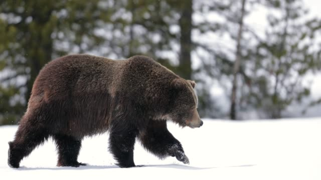 MS/TS  4K  shot of a large male grizzly bear (Ursus arctos) walking through the fresh snow into the camera