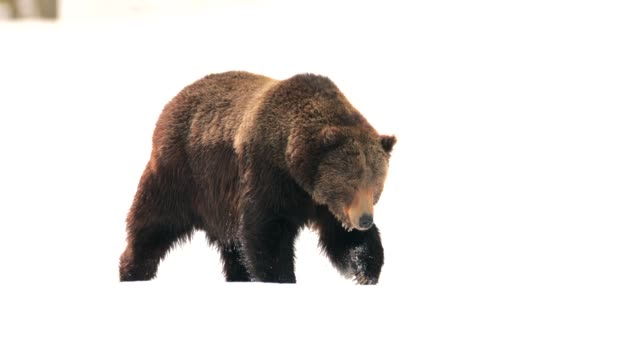 ms  4k  shot of a large male grizzly bear (ursus arctos) walking through the fresh snow into the camera - threatened species stock videos & royalty-free footage
