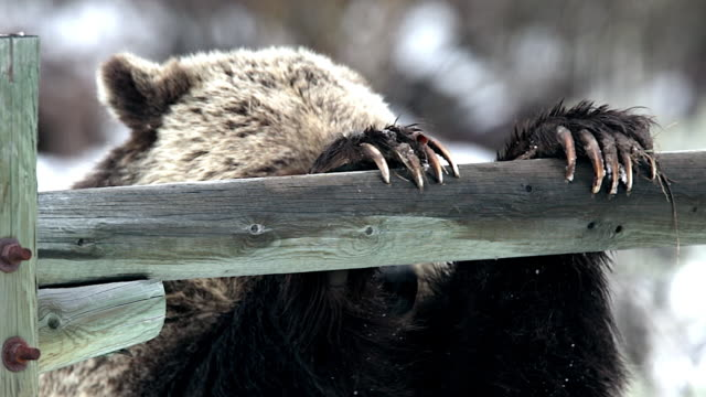 ts shot of a large male grizzly (ursus arctos) climbing over a rancher's fence in early spring - klaue stock-videos und b-roll-filmmaterial