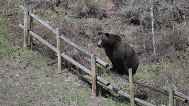 ms  4k  shot of a large male grizzly/boar (ursus arctos) chasing after a female grizzly and climbing a fence - jackson hole stock-videos und b-roll-filmmaterial