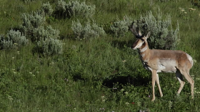 ms  shot of a large male pronghorn (antilocapra americana) walking through the wildflowers - pronghorn stock videos & royalty-free footage