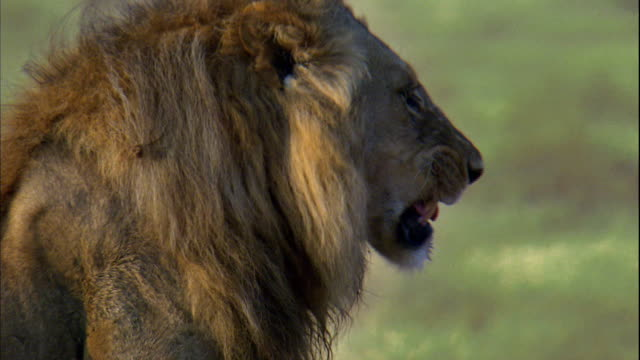shot of a lion at serengeti national park - male animal stock videos & royalty-free footage