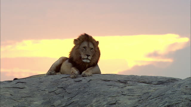 shot of a lion resting on large rock - riposarsi video stock e b–roll