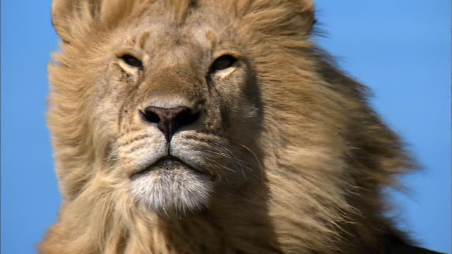shot of a lion - male animal stock videos & royalty-free footage