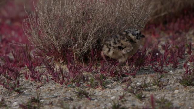 Shot of a Little Tern resting on field