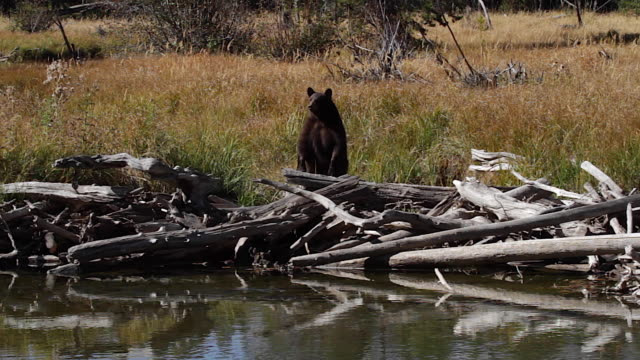 WS  shot of a male black bear (Ursus americanus) standing up along a stream