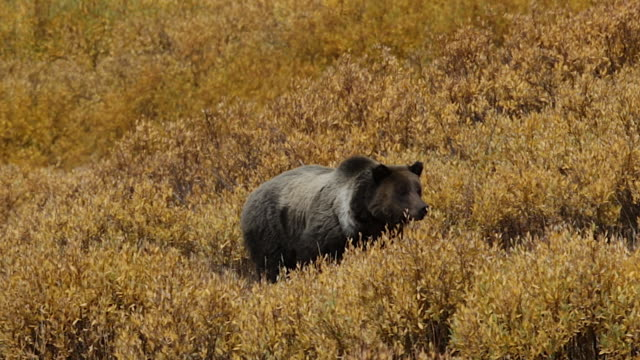 MS  shot of a male grizzly bear  (Ursus arctos horribilis) walking through a golden stand of willows toward the camera