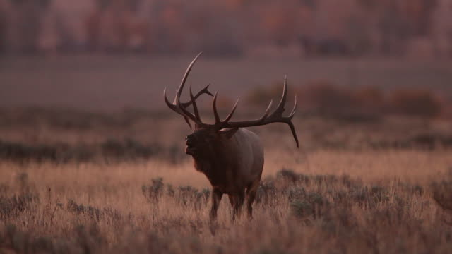 ms shot of a massive  8x8 bull elk (cervus canadensis) backlit bugling in the sagebrush and cottonwoods at sunrise - cottonwood tree stock videos and b-roll footage