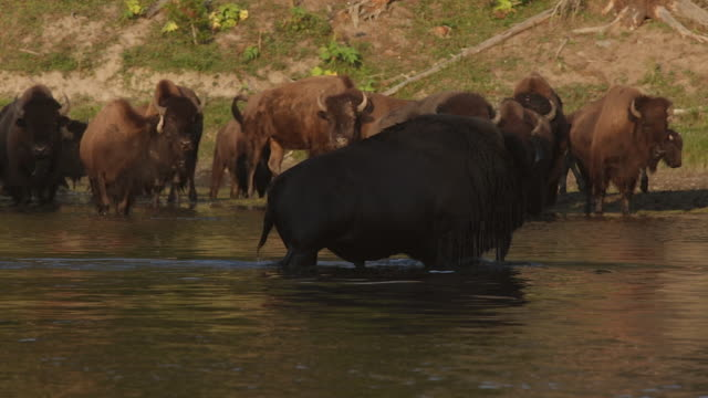 MS  shot of a massive American bison (Bison bison) bull crossing the Yellowstone River during the August rut