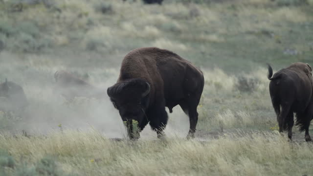 vídeos de stock, filmes e b-roll de ms  shot of a massive  american bison (bison bison) bull pawing, bellowing and talking a dust bath during the august rut - grupo médio de animais