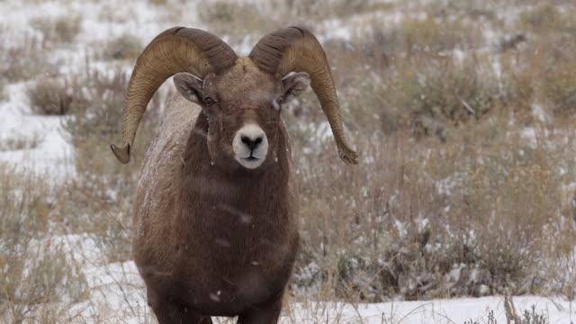 MS/TS/SLOMO  shot of a massive bighorn sheep ram (Ovis canadensis) in a blizzard
