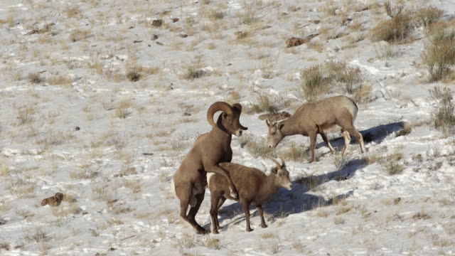 ws/slomo  shot of a massive bighorn sheep ram (ovis canadensis) mating with a ewe in the snow - mutterschaf stock-videos und b-roll-filmmaterial