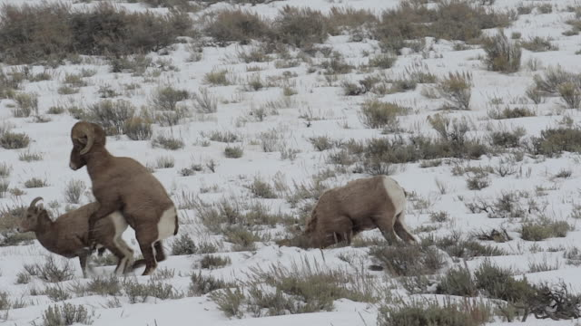 ws/slomo  shot of a massive bighorn sheep ram (ovis canadensis) mating with an ewe in the snow - mutterschaf stock-videos und b-roll-filmmaterial