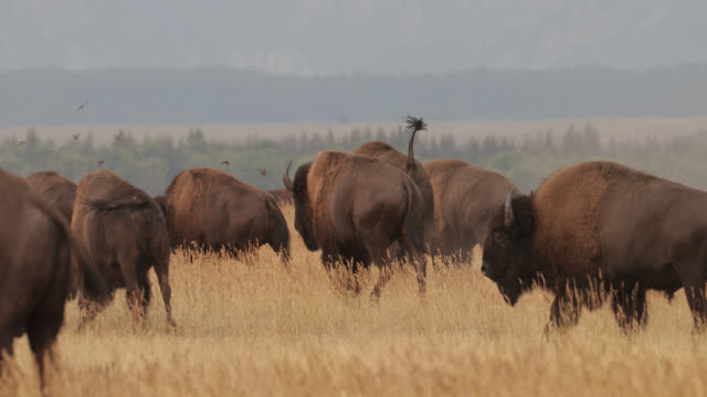 ms  4k  shot of a massive bull bison (bison bison) running and grunting/sound during the summer rut - グランドティトン国立公園点の映像素材/bロール